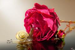 Amore incompatibile (LightRapsody) Tags: life macro still rosa lumaca rosso amore specchio riflesso rossa