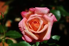 Rose (Hugo von Schreck) Tags: flower macro rose blume makro onlythebestofnature tamron28300mmf3563divcpzda010 canoneos5dsr hugovonschreck