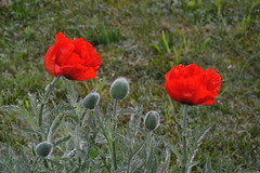 Poppy flowers (echumachenco) Tags: flowers red plant green grass outdoor petal poppy bud coquelicot hairs mohnblume