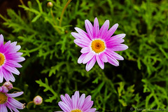 Colorful Daisy (Kumaravel) Tags: pink flower green nature closeup nikon colorful dof bokeh crop daisy kumar kumaravel kollihills d3100 naturephotographychallenge
