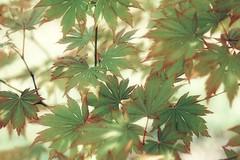 Maple leaves (JPShen) Tags: light green leaves maple exposure double