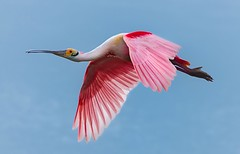Roseate Spoonbill in Flight (spencerjluna) Tags: texas roseatespoonbill bolivarpeninsula birdphotography inflightphotography sigma150600