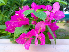 Bougainvillea!!! (farrukhathar) Tags: pink pakistan green leaves nokia bougainvillea lovely 2008 lahore n73