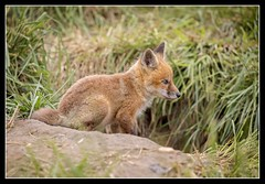 Fuzzy Kitt... (DTT67) Tags: nature animals canon de mammal wildlife fox nationalgeographic kitt redfox bombayhook 100400mkii 1dxmkii
