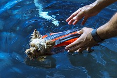 Muscles (Chris B Richmond) Tags: life dog sun water pool muscles swimming swim canon puppy outside hands arms outdoor paddle sunny inflatable ripples vest dslr poolside