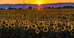 Sun Flowers (Tom Yamamoto) Tags: california flowers sunset sun canon landscape dixon
