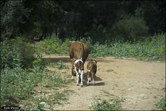Cow and calve IZE_15011as (Zachi Evenor) Tags: nature animal animals forest israel cow cows carmel calf taurus bos  grazing calves    bostaurus        zachievenor