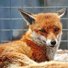 Foxy (sabphoto69) Tags: park mill chicken cat pond meerkat little farm grouse peacock deer fox owl gobbler stourport ombersley