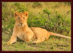 YOUNG SUB-ADULT MALE CUB (Panthera leo)  ......MASAI MARA......SEPT 2015 (M Z Malik) Tags: africa nikon leo kenya wildlife ngc safari npc kws lioncubs masaimara d3x flickrbigcats exoticafricancats exoticafricanwildlife 200400mm14afs