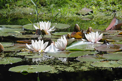 Waterlelie - Water Lily - Explored (eric zijn fotoos) Tags: plant flower bloem nikond90 sigma150500mmos