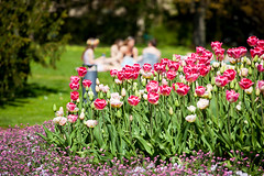 Joyful Day (Rutger Blom) Tags: pink flowers lund green spring tulips sunny citypark 200mm stadsparken ef70200mmf4lusm canoneos5dmarkii
