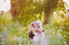 Mini Aussie - Randy (Alice Veresova) Tags: random boy summer miniaussie mydog nature animals