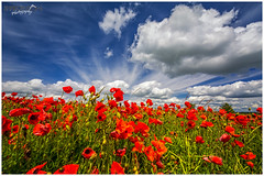 Red, Green and Blue {EXPLORED} #164 28th June 2016 (Sharon Dow Photography) Tags: uk blue red wild england flower nature beautiful field weather clouds downs sussex petals flora nikon brighton pretty britain south ngc hills explore poppy poppies stunning wildflowers blueskies remembrance rgb opium eastsussex naturalworld cloudporn southdowns redbluegreen ditchling southernengland papaveraceae southeastengland wideanglelens 2016 ditchlingroad papaverrhoeas poppyfield explored awesomesky d7100 summer2016 nikond7100 sharondowphotography summersday june2016