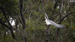 _4SJ8635-r5 (4mpx) Tags: sydney seaeagle australianbird brokenbay nikond4s tamron150600mm