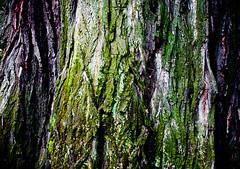 Soggy Lichen Tree Trunk (Orbmiser) Tags: lichen moss tree trunk 55200vr d90 nikon oregon portland summmer