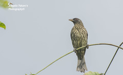 Palmchat (Salgado Nature Photography) Tags: nature birds birding palmchat dulusdominicus
