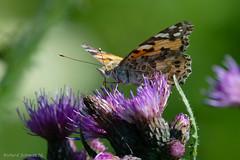 AAF_4071 (De Hollena) Tags: butterfly papillon schmetterling vlinder paintedlady distelvlinder vanessacardui distelfalter eilandspolder belledame vanesadeloscardos