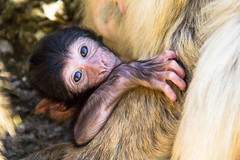 Macaque de Barbarie - Gibraltar (mathilde-paretbarrois) Tags: animal angleterre monkeys gibraltar espagne rocher singe macaque sauvage babyanimal