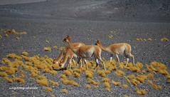 vicuñas salvajes (Lincelote) Tags: nikon montaña animales vicuñas pastizales desierto atacama chile nikon5100 naturesgallery bestcapturesaoi