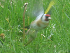 P2330130c ( Stunning #COLOURS!! ) Fly Away Home . ! .  After happily feeding on the seeds of all our 'weeds' . . ! !! .. . (Erniebobble::THE LONGEST DAY!.!*~*HAPPY SUMMER SOL) Tags: red portrait brown white black blur green bird eye feet window nature grass silhouette yellow garden dark season flying spring wings movement stem weeds focus soft colours feeding wildlife goldfinch profile flight lawn beak cream restful meadow peaceful overcast hidden study edge balance beyond through suspended dull tranquil avian dandelions gentle between muted songbird biodiversity unseen seedheads feathered betwixt plumage twitcher subdued 2016 behaviour gardenbirds longgrass woodlandbirds springwatch harmonious uncutgrass unmown wildlifegarden unsprung chrispackham erniebobble