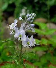 Beauties (Anna's 50) Tags: flowers nature macro canong1x g1x powershotg1x