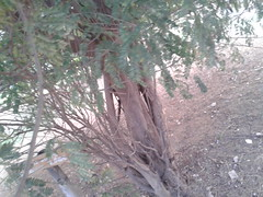 4 (Albizia amara) (Dr.S.Soundarapandian) Tags: india tree krishna tamilnadu pods amara antioxidant albizia siris usilai unjai