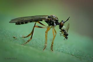 Raubfliege - Gemeine Habichtsfliege (Dioctria hyalipennis) mit Beute