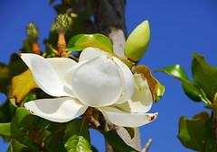 Ficus (petrk747) Tags: flower travelling turkey coast outdoor ficus antalya flowerbud deptoffield saariysqualitypictures greatshotss ficusbud