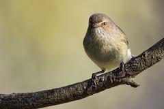 Weebill 2016-06-02 (_MG_1403) (ajhaysom) Tags: weebill smicrornisbrevirostris woodlandshistoricpark greenvale melbourne australia australianbirds canoneos60d sigma150600