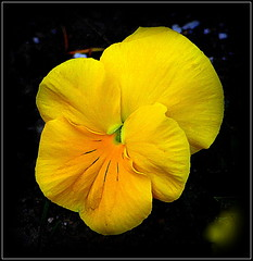 Amber Splash (dimaruss34) Tags: newyork flower brooklyn image pansy dmitriyfomenko