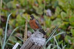Driftwood Perch (Neal D) Tags: bird robin bc driftwood shirley americanrobin pointnopoint turdusmigratorius