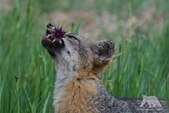 Hungry Fox (fascinationwildlife) Tags: california park santa wild usa flower nature animal america mammal island wildlife natur gray cruz national fox channel fuchs graufuchs