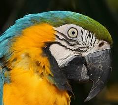 Macaw (Annette Rumbelow) Tags: bird parrot colourful macaw longleatsafaripark largebeak annetterumbelowwilson longleatgrounds