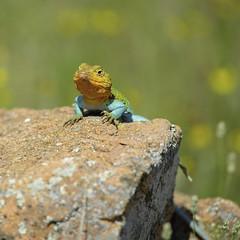 Collared (Tony Hochstetler) Tags: color oklahoma square nikon bokeh reptile wildlife lizard wichitamountains sunbathing herp wildliferefuge basking collaredlizard crotaphytuscollaris nikon300mmf4 herpotology d800e