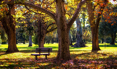 memories of autumn (Bec .) Tags: autumn trees winter leaves canon bench seat adelaide bec 70300mm southaustralia parklands adelaidebotanicalgardens 80d memoriesofautumn