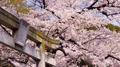 (2014) Ueno Park - Torii & Sakura (nkawai) Tags: park japan tokyo ueno  sakura   hanami saku 2014