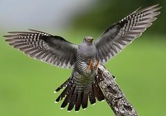Cuckoo (davy ren2) Tags: flight cuckoo in
