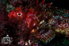 Red Scorpion Fish (ShaunMYeo) Tags: espaa fish spain espanha scubadiving espagne spanien spagna tarifa spanje spnn spania underwaterphotography  espanya  hispania hiszpania ispanija espanja ispanya spanyolorszg panlsko ikelite hispaania underwaterphotographer spanyol  hispanio    spanja ispaniya sepanyol  panija panielsko  espainiako     spinn  espay  spnija  spanj