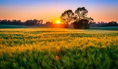 North Zealand sunset (Stig Nygaard) Tags: light sunset sun nature field grass landscape denmark golden evening countryside lowlight scenery warm glow sundown mark straw vivid beautifullight peaceful atmosphere zealand dk creativecommons 7d serene rays dnemark danmark idyllic tranquil straws goldenhour lowsun goldenfield gilleleje wheatfield goldenlight dnk 2016 sjlland grainfield nordsjlland northzealand 7d2 regionhovedstaden photobystignygaard prup canonefs1585mmf3556isusm 7dii canoneos7dmarkii 7dmarkii