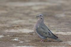 Eared Dove (Zenaida auriculata), Humahuaca, Jujuy, Argentina (Daniel J. Field) Tags: humahuaca feared eareddove zenaidaauriculata