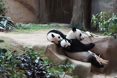 10-month-old (almost) Nuan Nuan () and mother Feng Yi aka Liang Liang 2016-06-16 (kuromimi64) Tags: bear zoo panda malaysia nationalzoo kualalumpur giantpanda   zoonegara     fengyi   liangliang nuannuan selangordarulehsan  zoonegaramalaysia