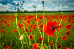 Poppies0006June2016.jpg (Theoria Photography) Tags: peterborough fields poppies outdoor sony5r sigma19mmf28art uk red