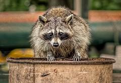 Evening Raid (Wes Iversen) Tags: animals brighton michigan textures milford garbagecans mammals raccoons hcs kensingtonmetropark clichesaturday tamron150600mm