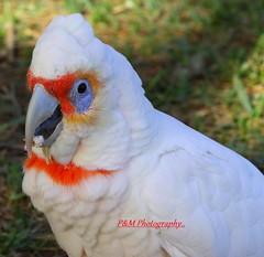 Long-billed Corella (Cacatua tenuirostris) (paulberridge) Tags: bird parrot australian cockatoo corella nature wildlife white photography sydney