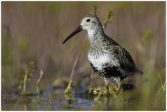 dunlin (Christian Hunold) Tags: bird alaska bokeh nome dunlin shorebird sewardpeninsula alpenstrandlufer safetysound christianhunold