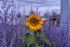 _DSC3772 (Simply Angle) Tags: plant flower nature leaves closeup outside outdoors washington spokane purple bokeh sony seed seeds sunflower bloom wa fe leafs blooming coville a7ii deerparkwa chewelahwa sonyphotographing sonyphotography femount ilce7m2 sel50f18f