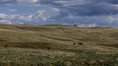 Wild West Life ! (Tra Te E Me (TTEM)) Tags: lumixfz1000 photoshop cameraraw aubrac aveyron plateau horizon paysage ciel sky clouds landscape vaches moutons arbre tree