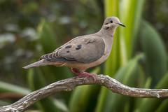 Eared dove (PriscillaBurcher) Tags: ngc npc zenaida trtola eareddove zenaidaauriculata torcaza palomacollareja dsc4519 torcazanagiblanca violeteareddove trtolatorcaza blueeareddove winecoloreddove