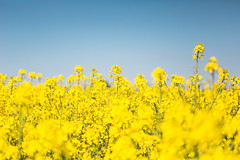#PicOfTheDay Rapeseed Field (Candidman) Tags: flowers color field yellow rapeseed