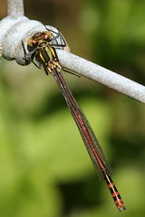 Large Red Damselfy (former-extog) Tags: wfc bridgend largereddamselfly tondu 2013 pyrrhosoma penybontarogwr unature welshflickrcymru bbcwalesnature parcslip bymikemccarthy canonef100mmf28lmacroisusm mikemccarthy